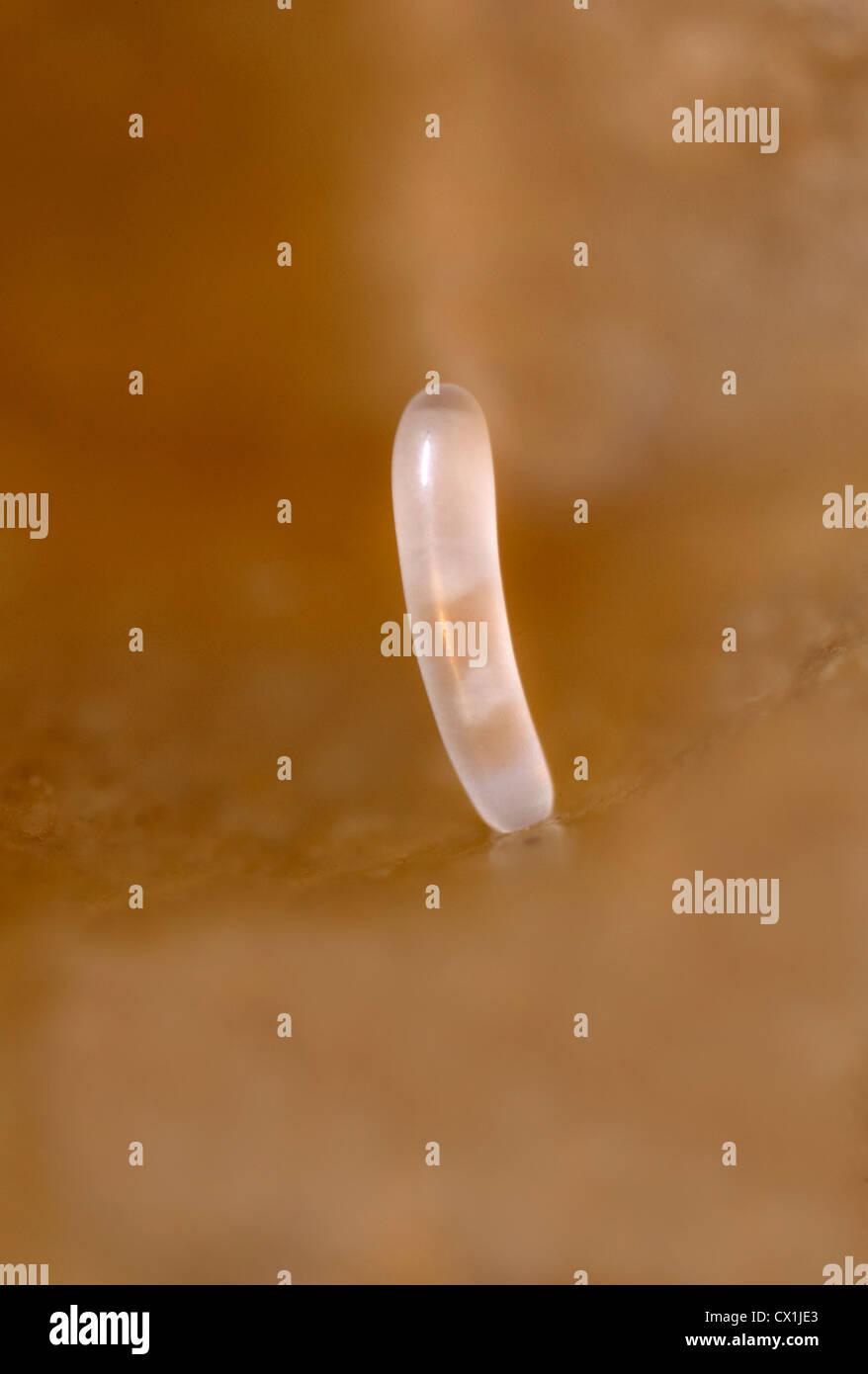 Nahaufnahme der Eiablage in den Zellen der Honecomb Schar Honig Biene Apis Mellifera Kent UK Stockbild