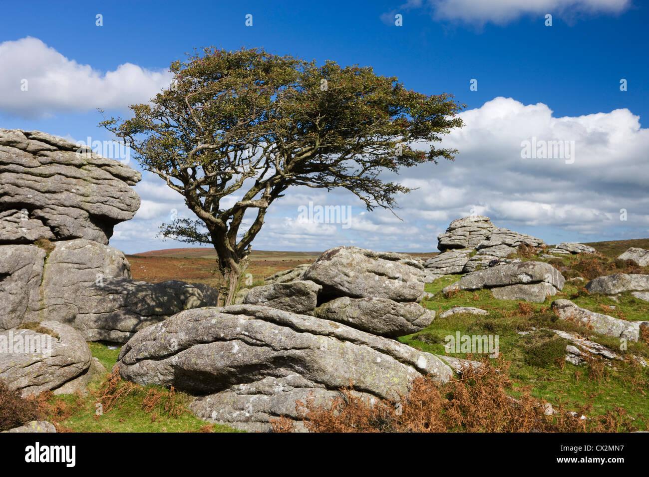Weißdorn-Baum und Granit Felsvorsprung, Sattel Tor, Dartmoor, Devon, England. Herbst (Oktober) 2010. Stockbild