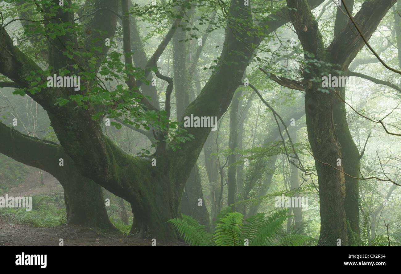 Nebligen Bedingungen auf dem South West Coast Path in Keivill Holz, Buck es Mühlen, Devon, England. (August) Stockbild