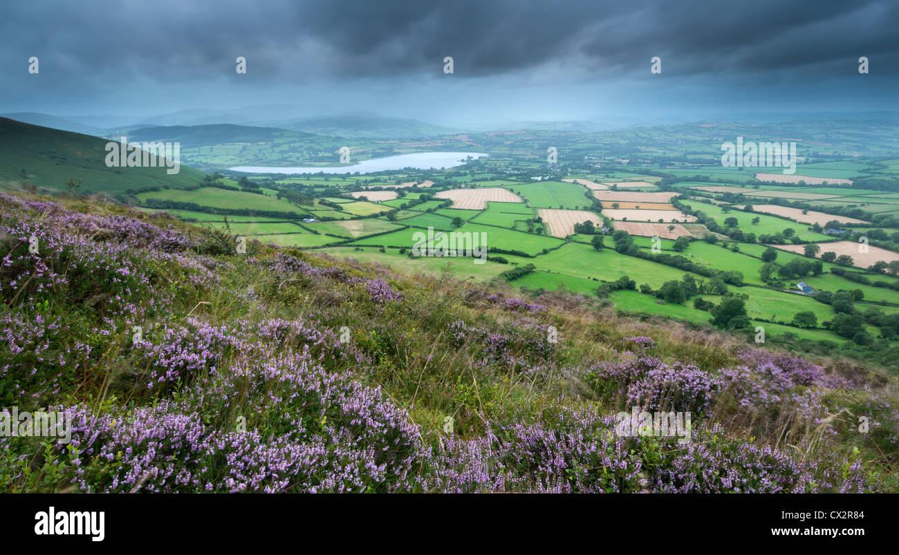Blühende Heide auf Mynydd Llangorse Berg, mit Blick in Richtung Llangorse See und Pen y Fan, Brecon Beacons Stockbild