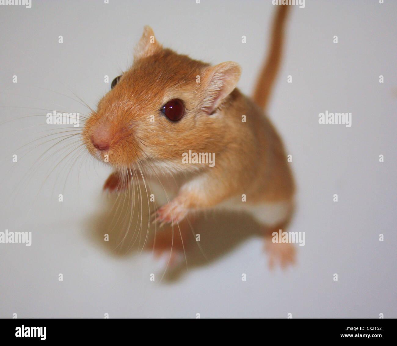 Haustier Rennmaus Stockbild