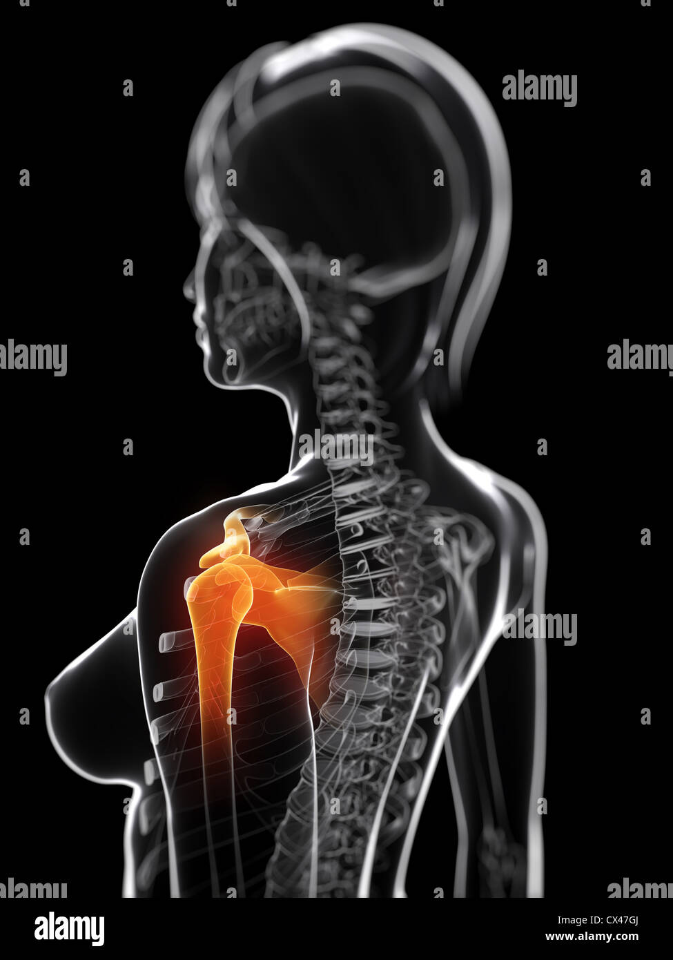 Tolle Schulter Anatomie Und Physiologie Galerie - Menschliche ...