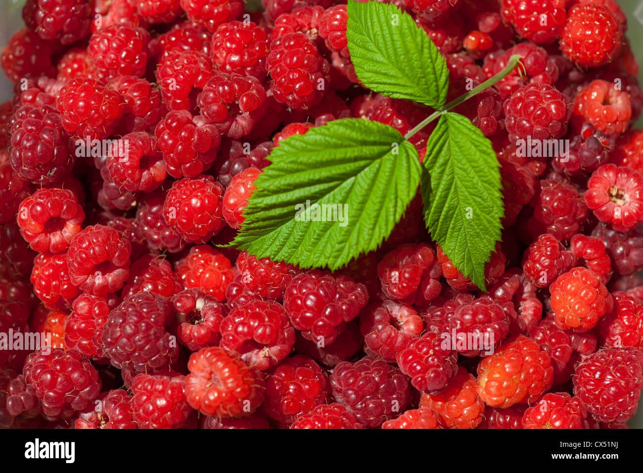 Rote Frucht Himbeere Hintergrund, Makroaufnahme Stockbild