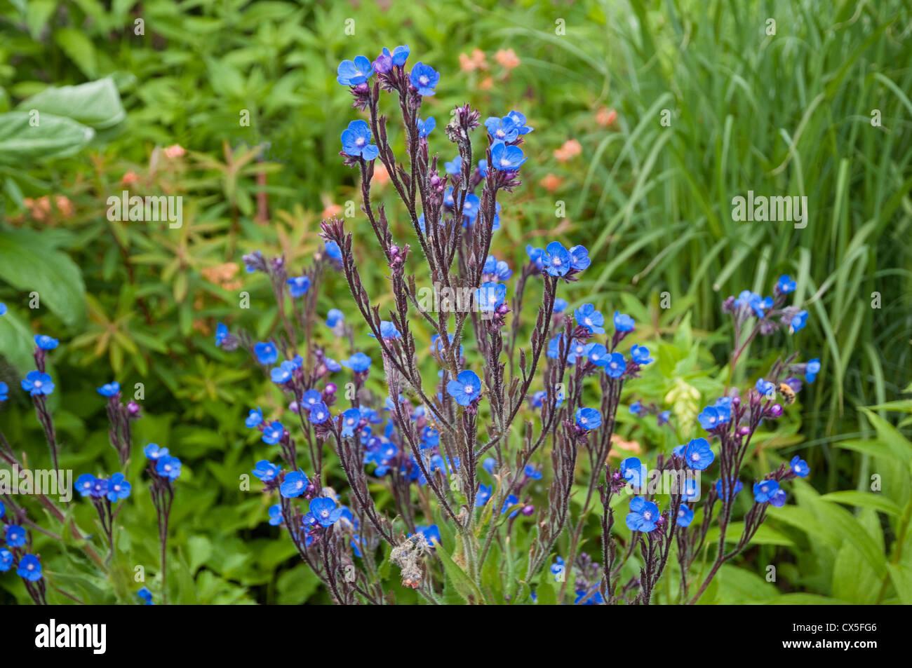 Anchusa Azurea - eine leuchtend blau blühende Pflanze - wachsen innerhalb einer krautigen Grenze in einem englischen Stockbild