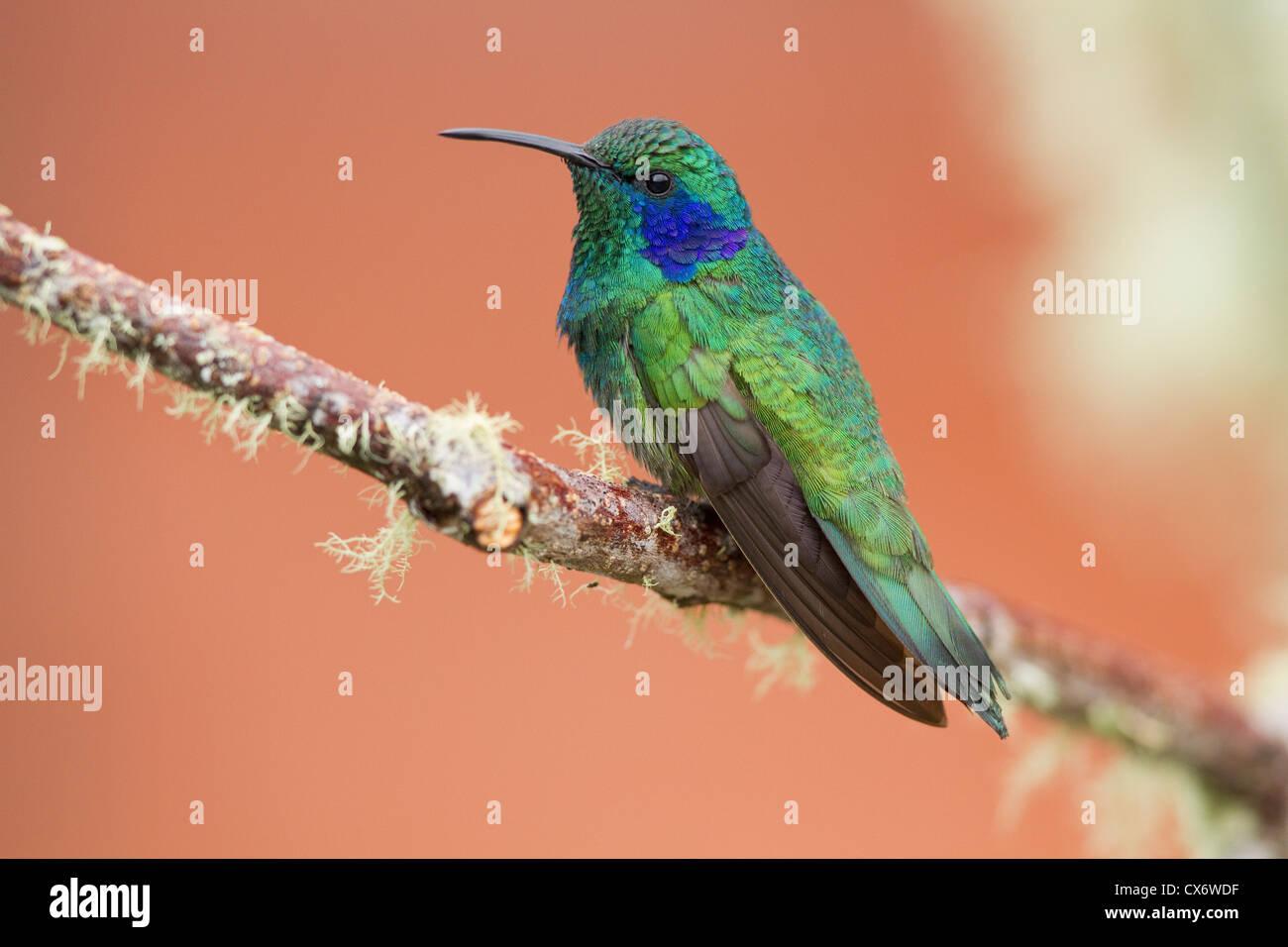 Grünes violett-Ohr (Colibri Thalassinus) thront auf einem Ast an Savegre, Costa Rica. Stockbild