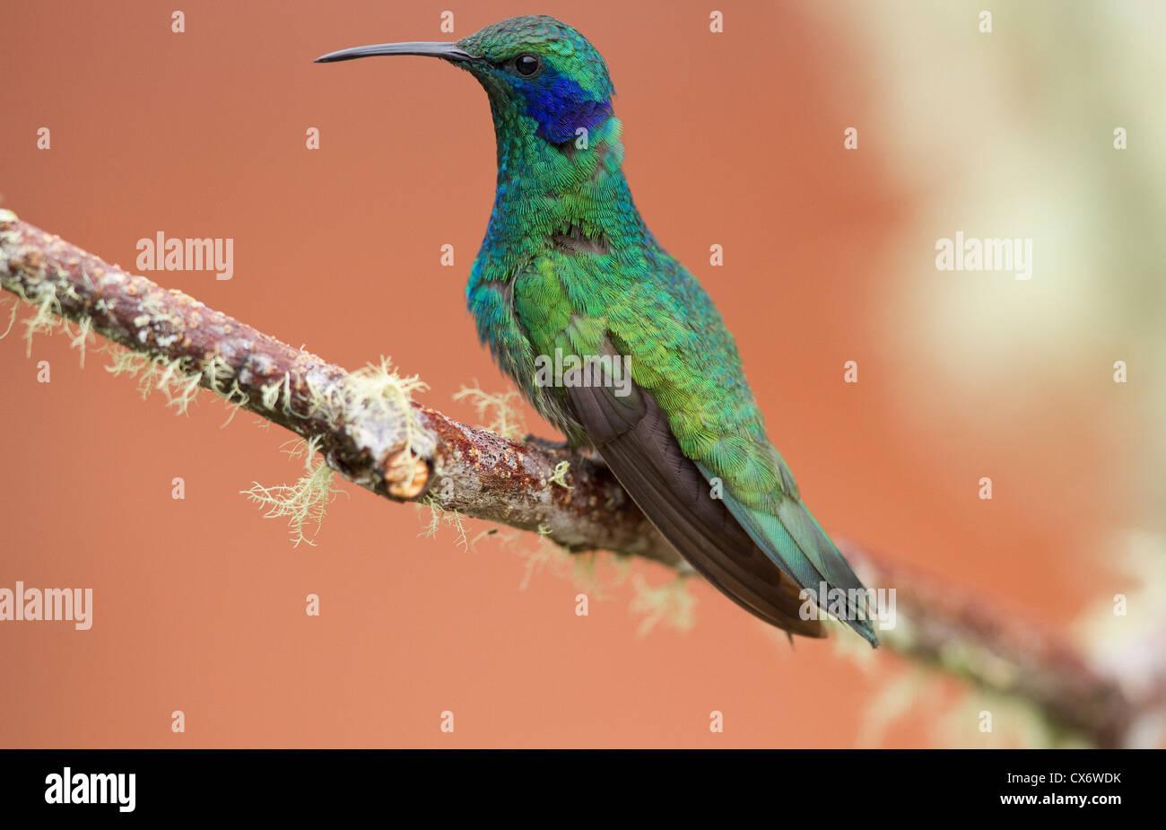Grünes violett-Ohr (Colibri Thalassinus) auf einem Ast an Savegre, Costa Rica. Stockbild