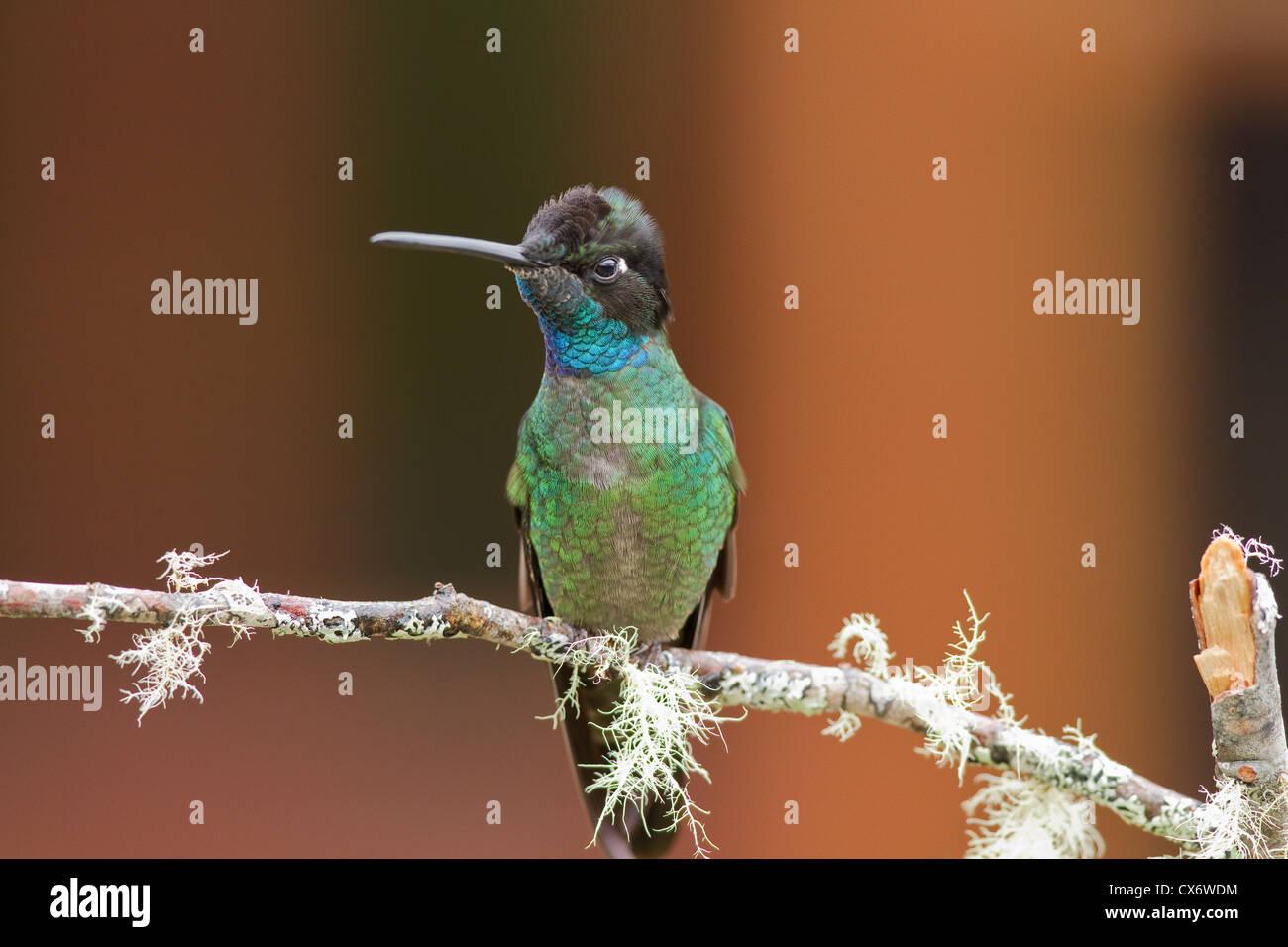Männliche Magnificant Kolibri (Eugenes Fulgens) thront auf einem Ast in Savegre Mountain Lodge, Costa Rica. Stockbild