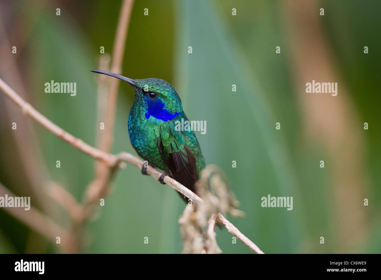 Nahaufnahme der Grün Violett-Ohr (Colibri Thalassinus) thront auf Zweig in Savegre Mountain Lodge, Costa Rica. Stockbild