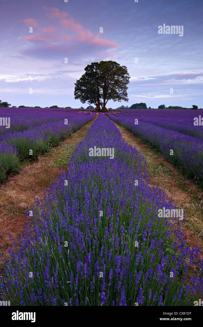 Biologisch angebaute Lavendel blüht den ganzen Sommer und für seine ätherischen Öle geerntet Stockbild