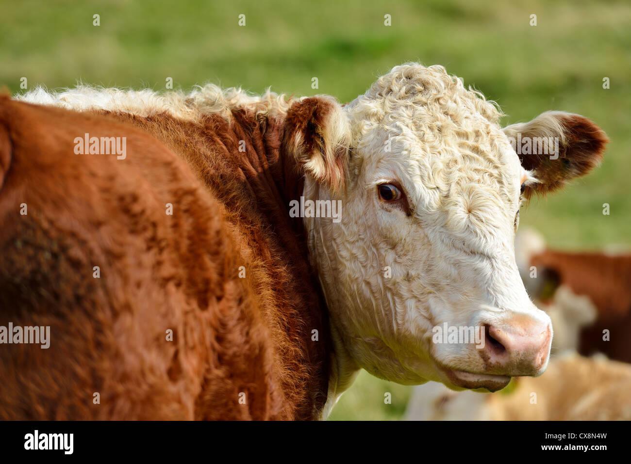 Eine glückliche Kuh schaut sich um. Stockbild
