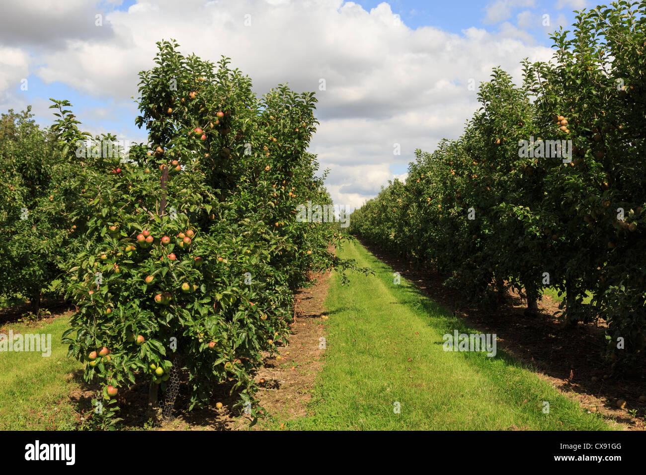 Apfelplantage, beladen mit reifen Äpfeln auf den gitterartigen Baumreihen im Spätsommer in Kent, England, Stockbild