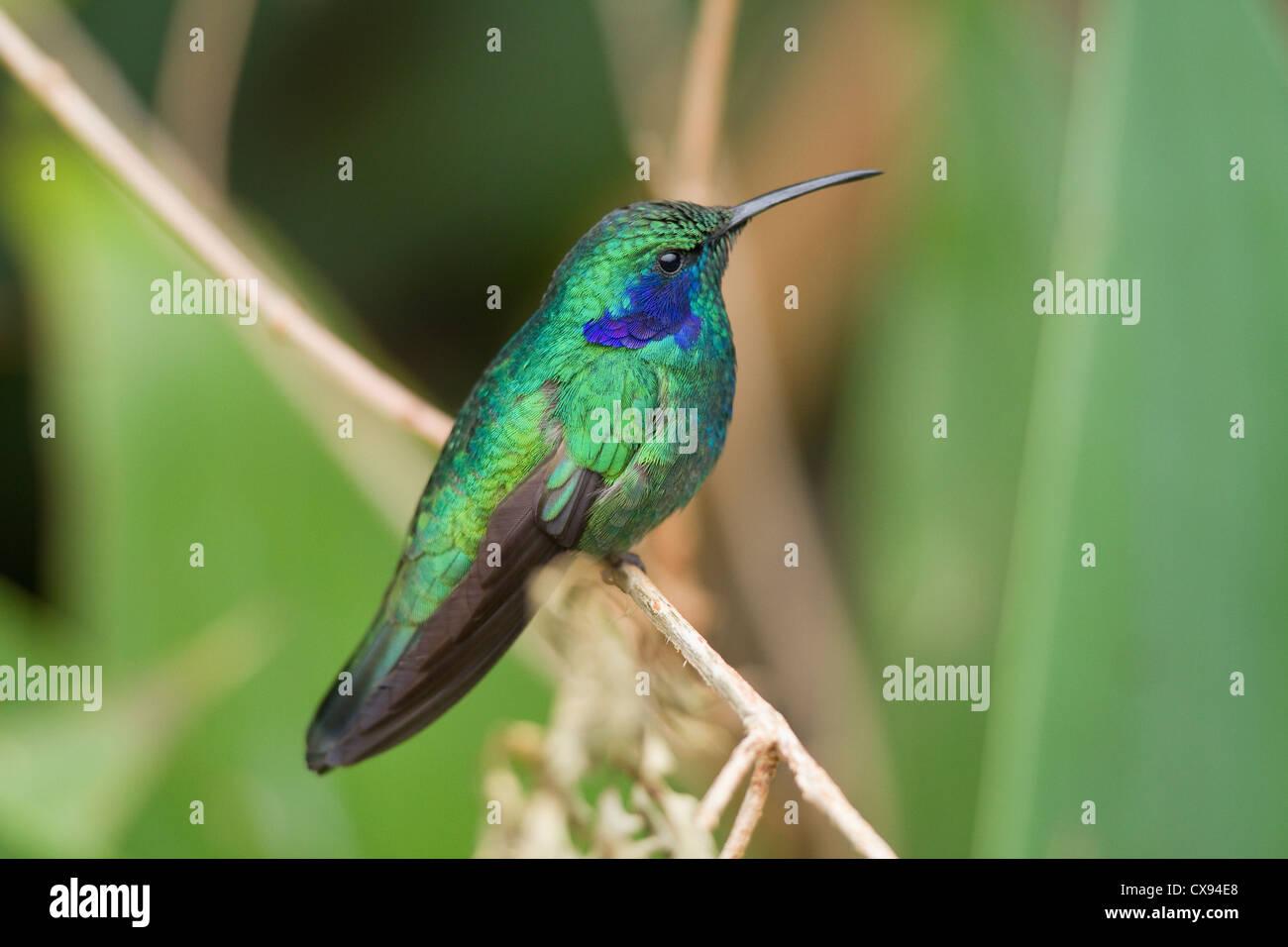 Nahaufnahme der Grün Violett-Ohr (Colibri Thalassinus) thront auf Zweig in Savegre Mountain Lodge, Costa Rica Stockbild