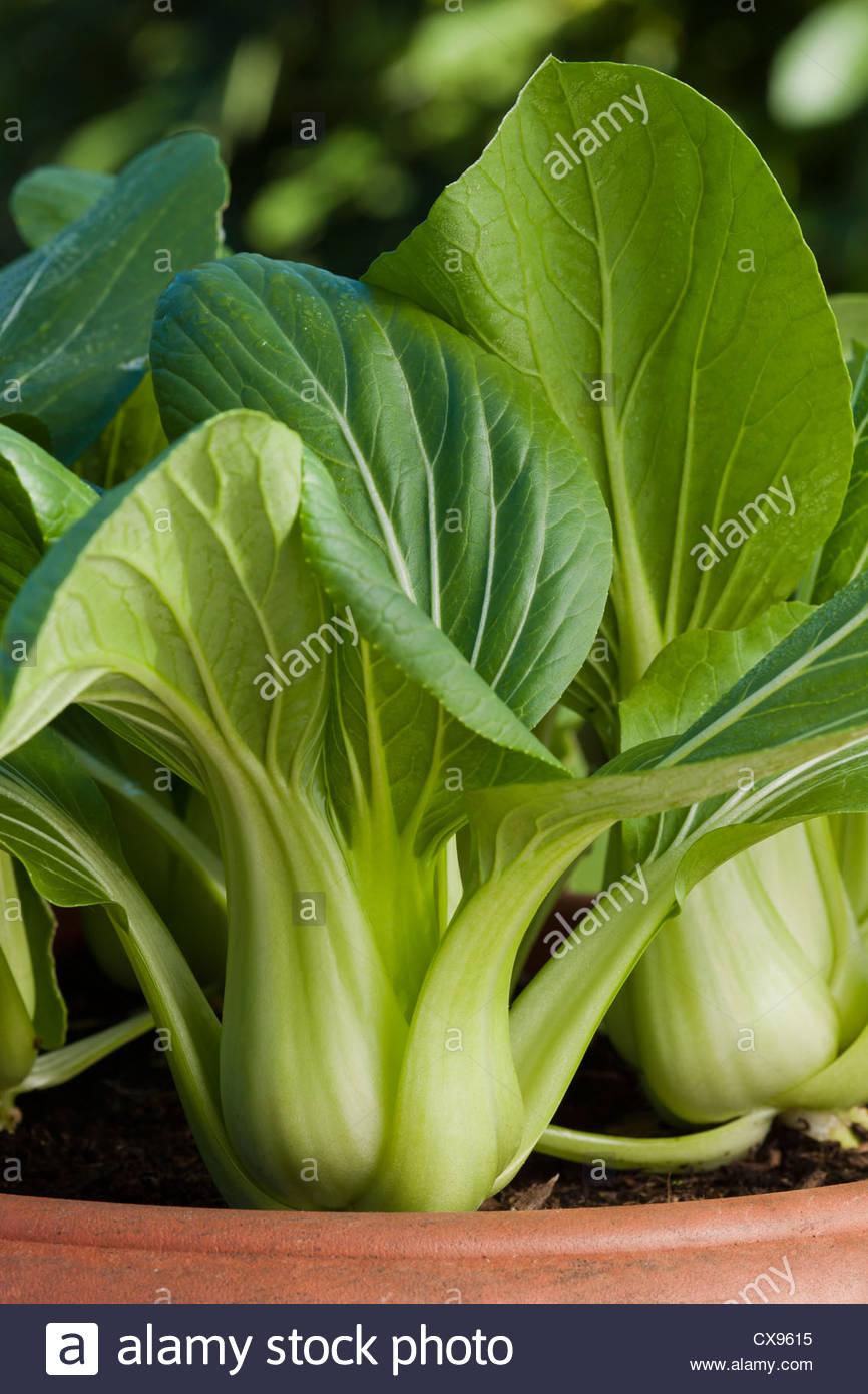 Chinesischer salat pak choi