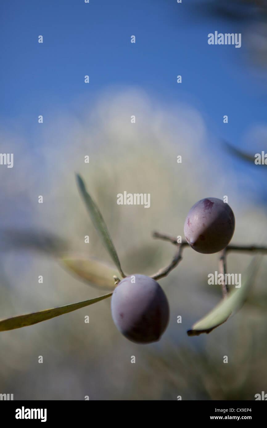 Olivenzweig detail Stockbild