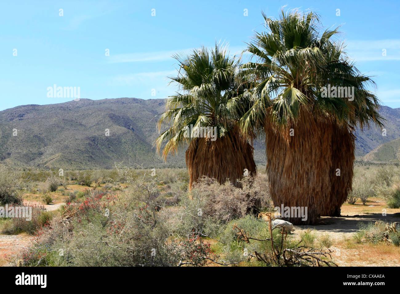 California Fan Palmen an der Anza Borrego Desert State Park, Kalifornien. Stockbild