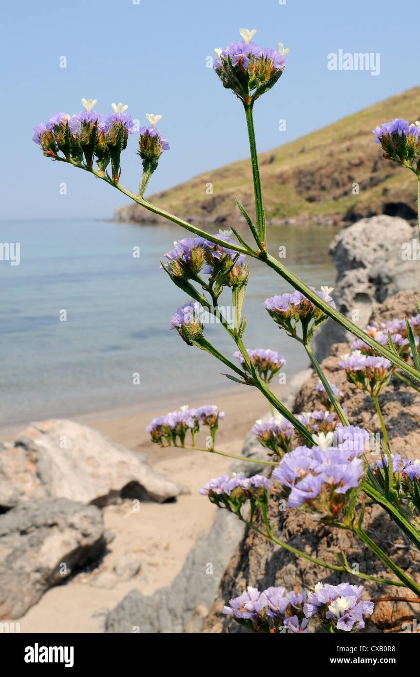 Geflügelte Strandflieder Blüte am felsigen Ufer, Lesbos (Lesvos), griechische Inseln, Griechenland Stockbild
