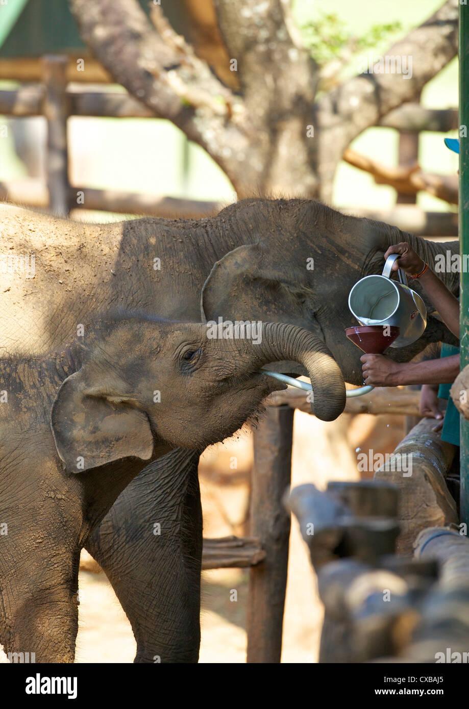 Baby-asiatische Elefanten gefüttert, Uda Walawe Elephant Transit Home, Sri Lanka, Asien Stockbild