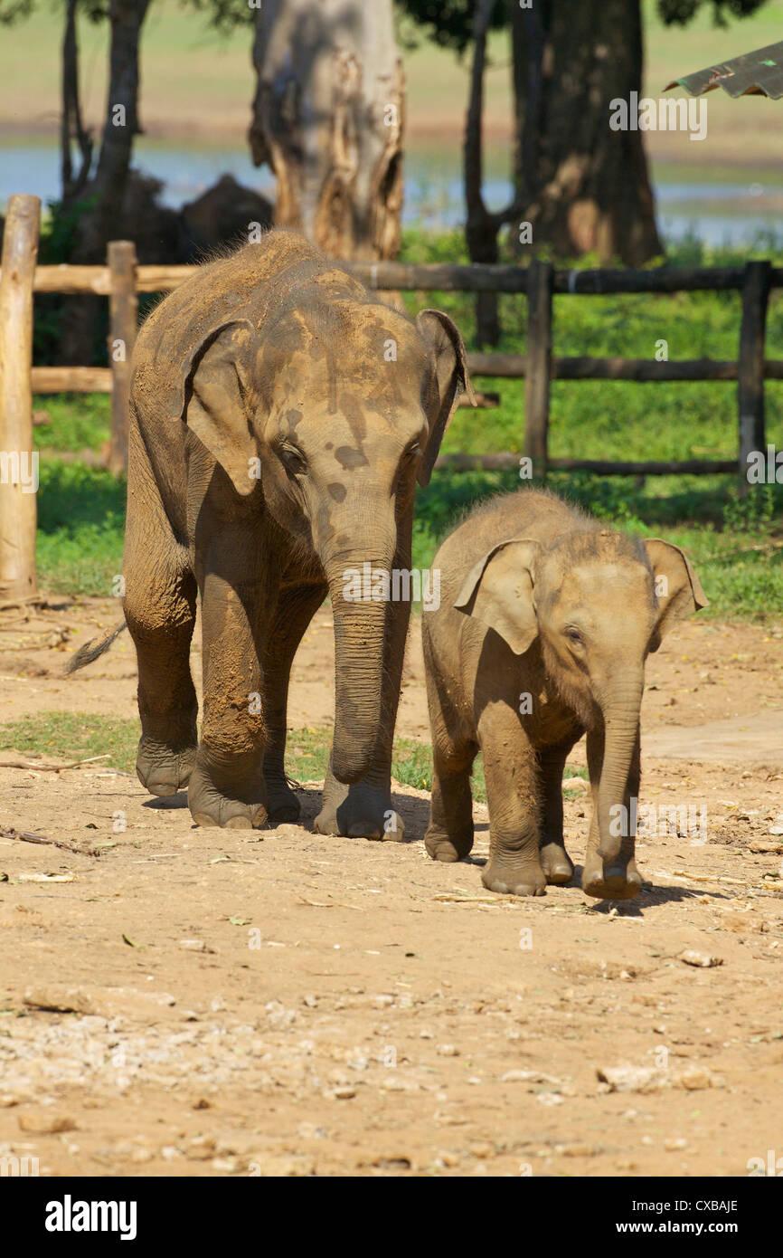 Baby-asiatische Elefanten, Uda Walawe Elephant Transit Home, Sri Lanka, Asien Stockbild
