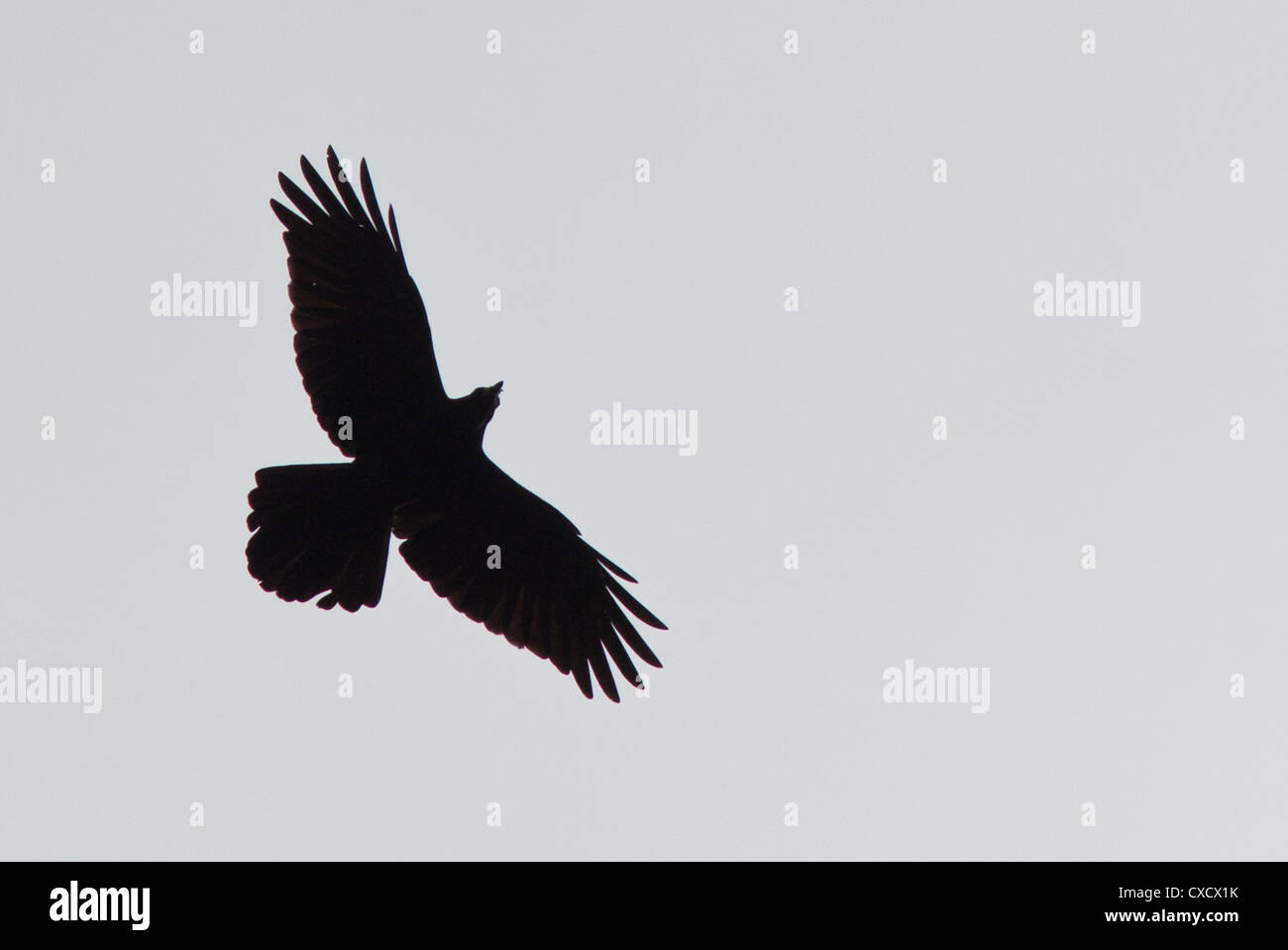 Raven Flying Stockfotos & Raven Flying Bilder - Alamy