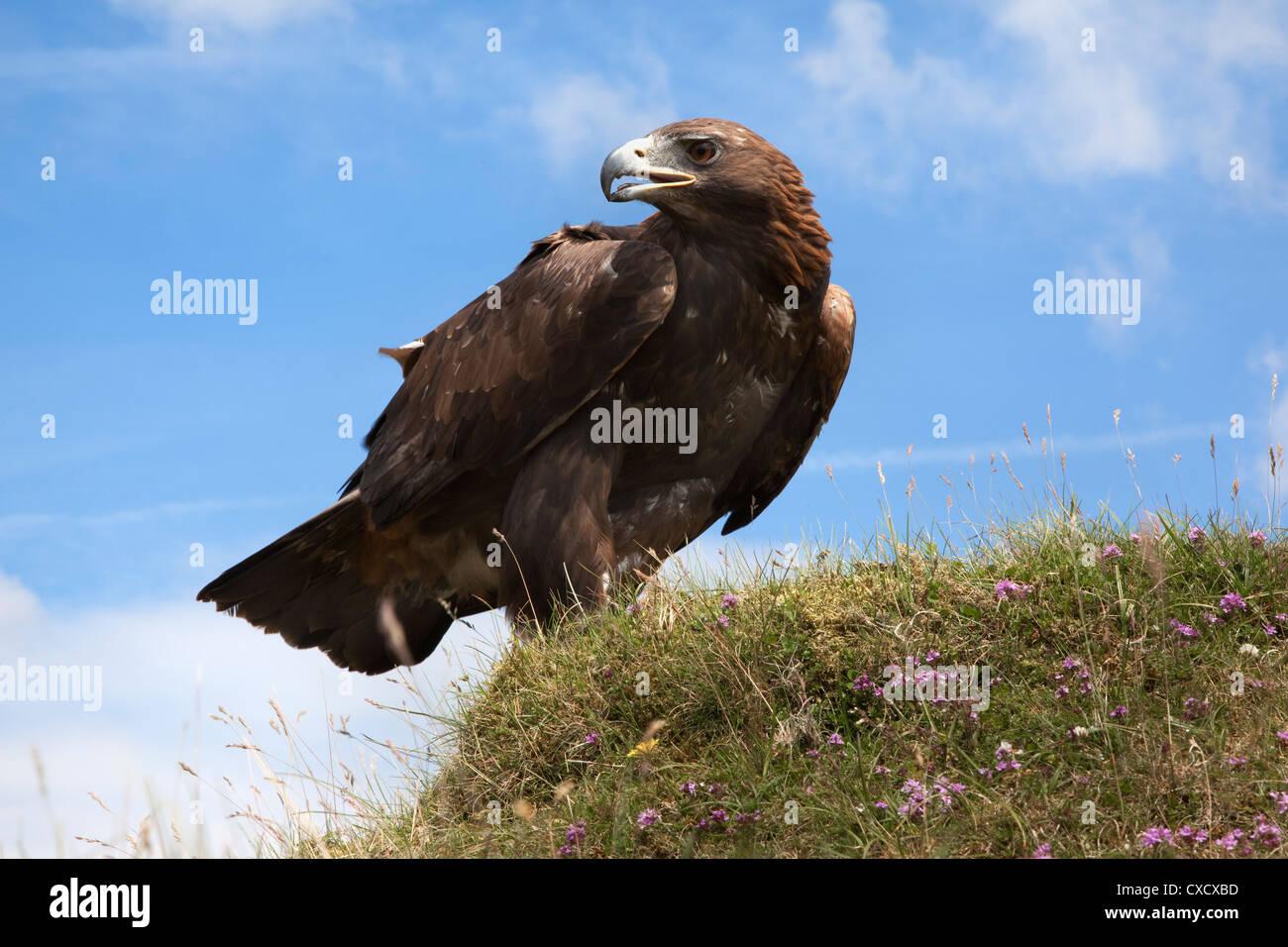 Steinadler (Aquila Chrysaetos), Gefangenschaft, Vereinigtes Königreich, Europa Stockbild
