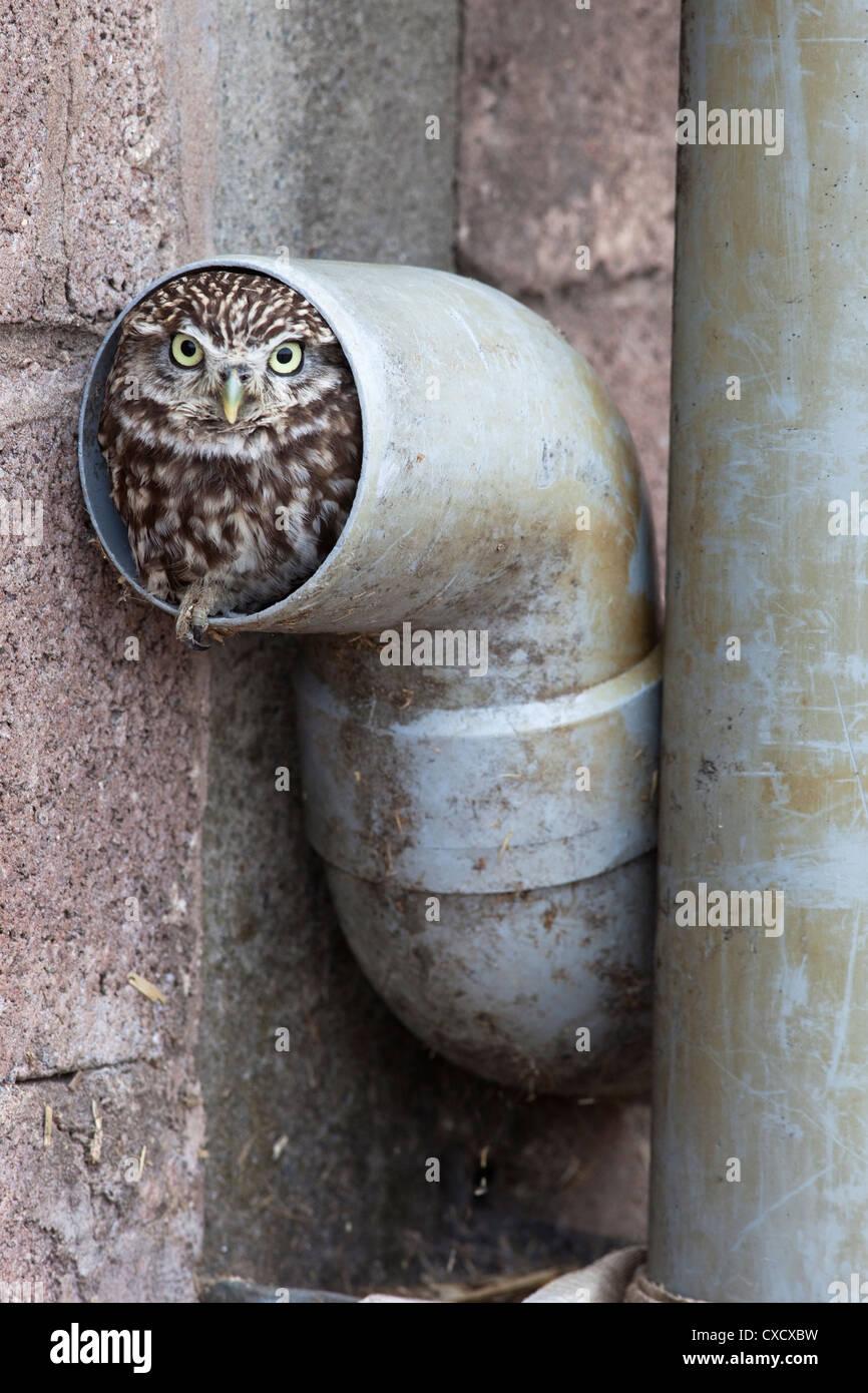 Steinkauz (Athene Noctua) im Fallrohr, in Gefangenschaft, Vereinigtes Königreich, Europa Stockbild