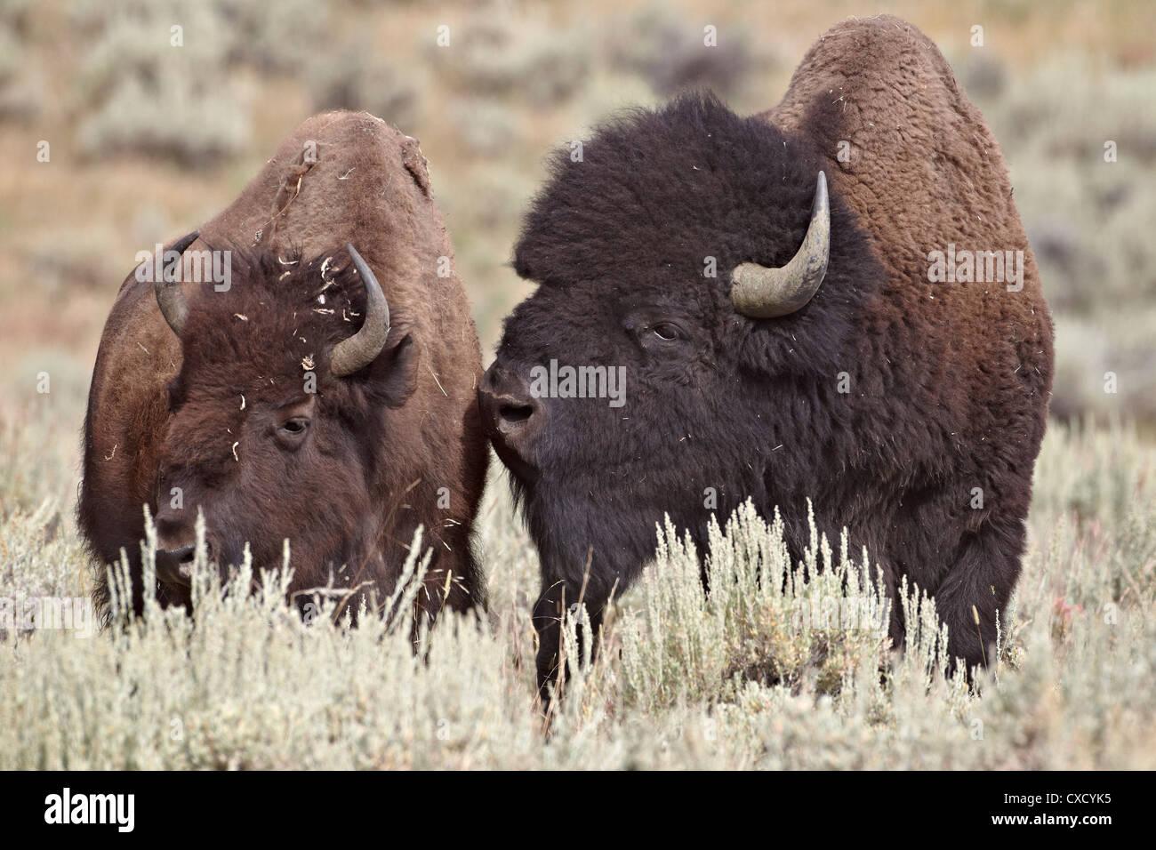 Bisons (Bison Bison) Stier und Kuh, Yellowstone-Nationalpark, Wyoming,  Vereinigte 789e87fb85