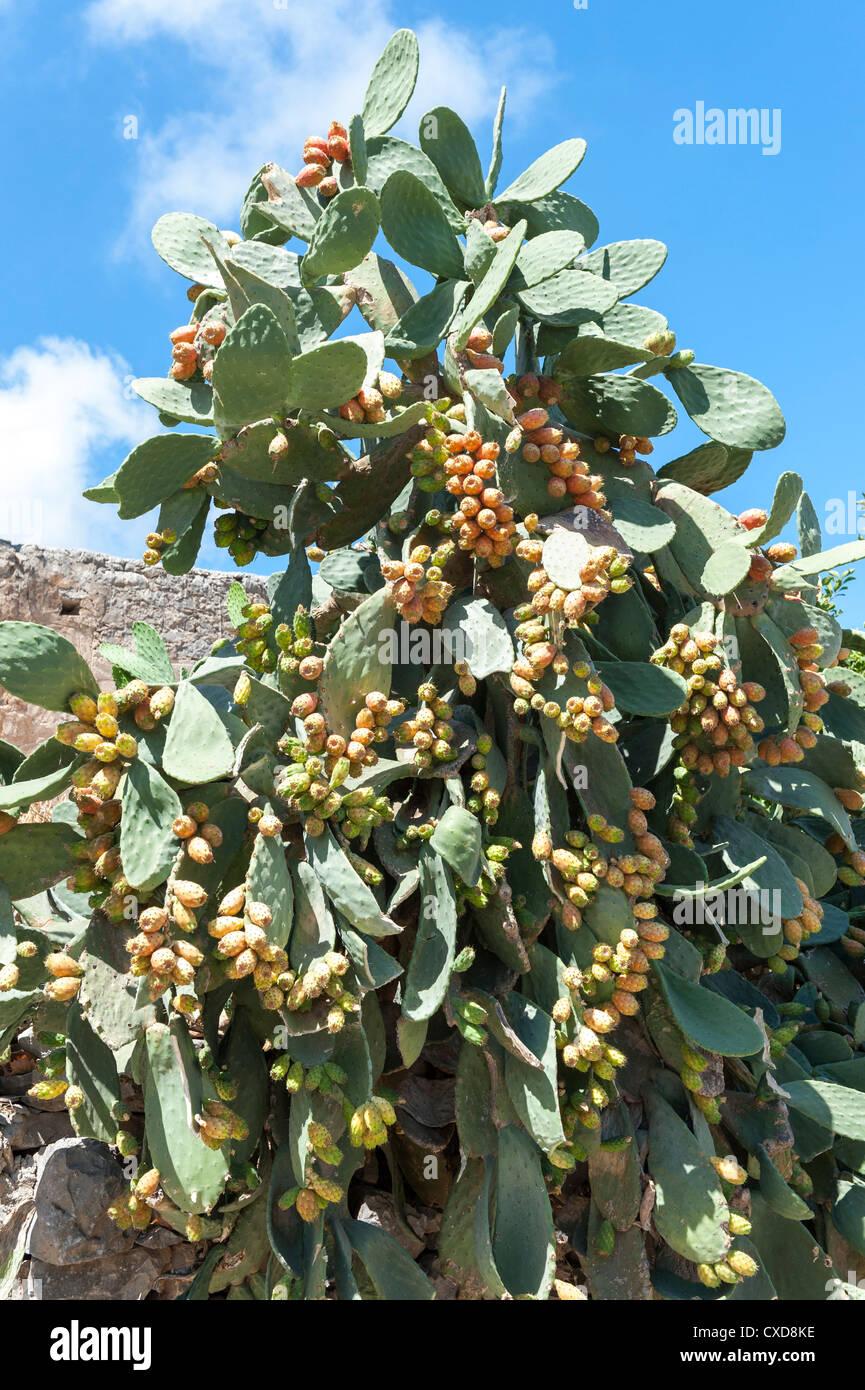Opuntia Feigenkaktus Gattung Cactaceae in voller Frucht Kreta Griechenland Stockbild