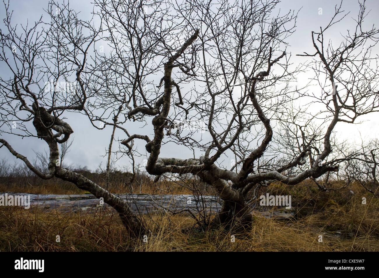 Kvamskogen, Tre, Träd, Fjäll, Fjell, Höst, Høst, Björk, natur Stockbild