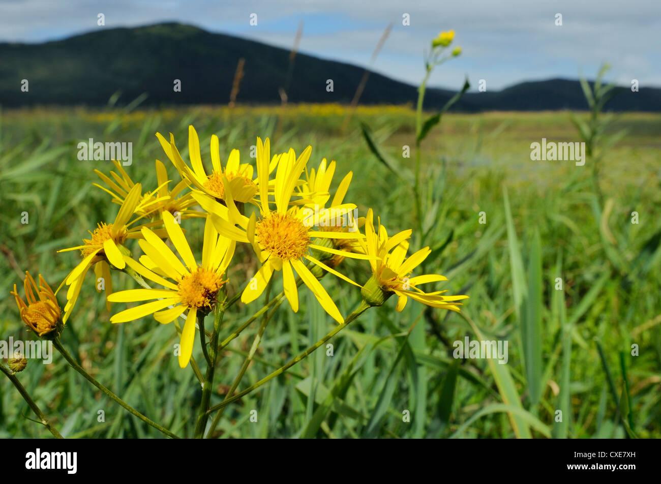 Fen-Kreuzkraut blüht im Moorland links durch das Wasser des Sees Cerknica in Slowenien, Sommer, Slovenianan Stockbild