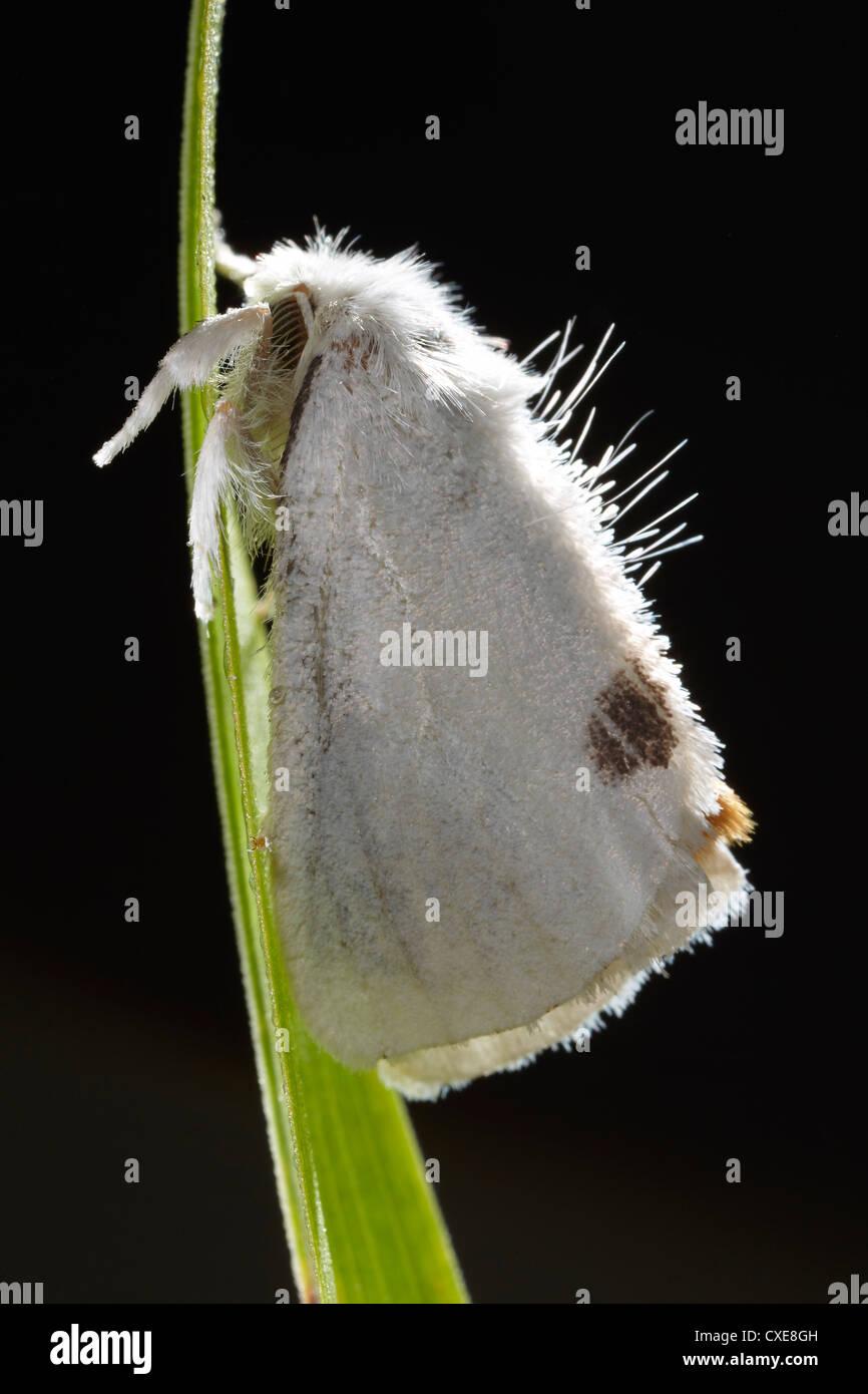 Gelb-Tail, Euproctis Similis, Motte, East Yorkshire, UK. Stockbild