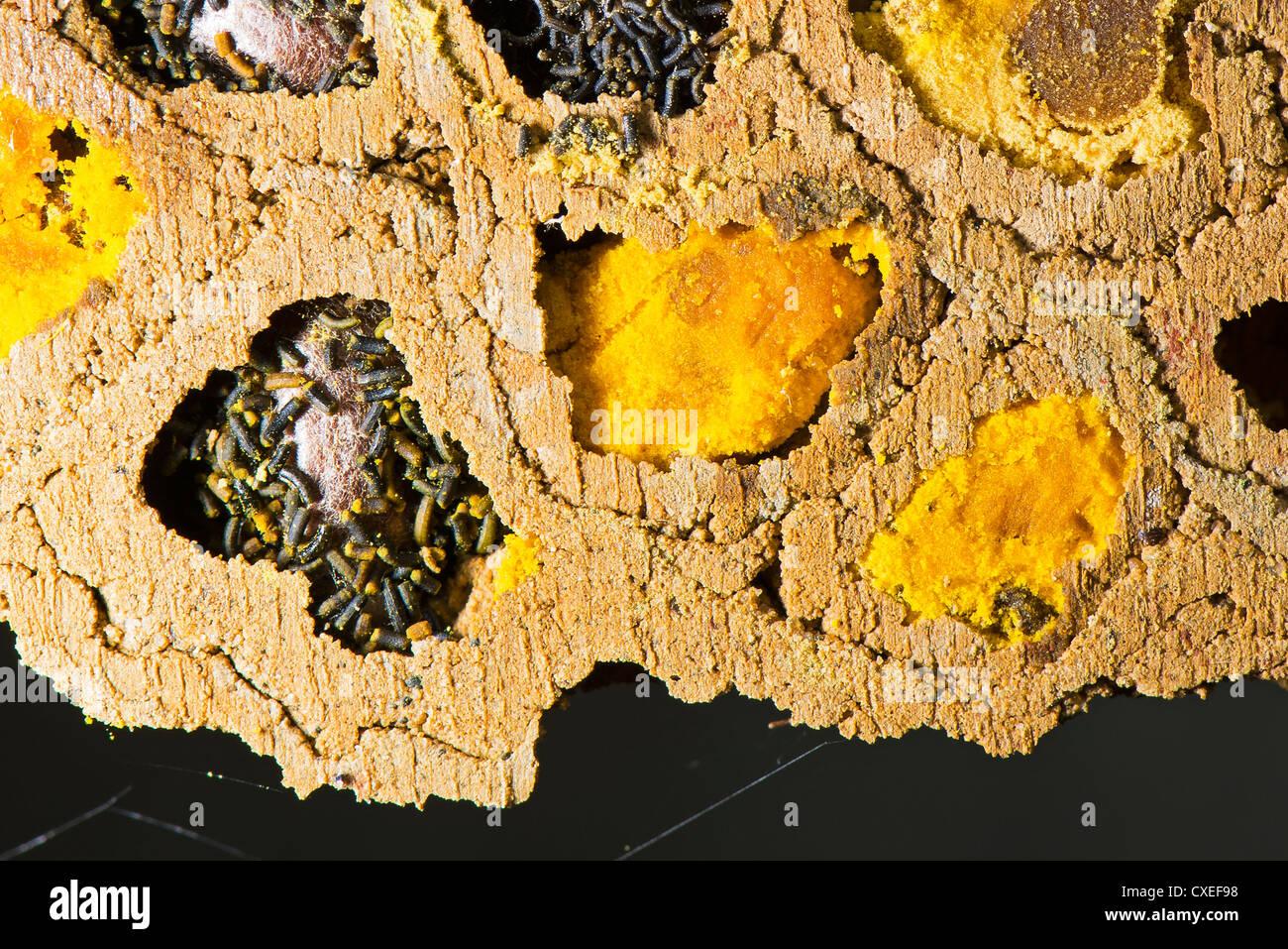 Eine Nahaufnahme von einer Kolonie der roten Mauerbiene Stockbild