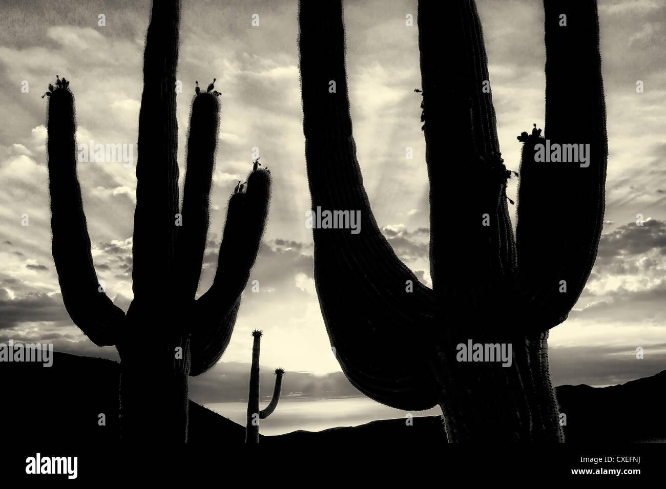 Silhouette Saguaro-Kaktus. Sonora-Wüste, Arizona. Stockbild