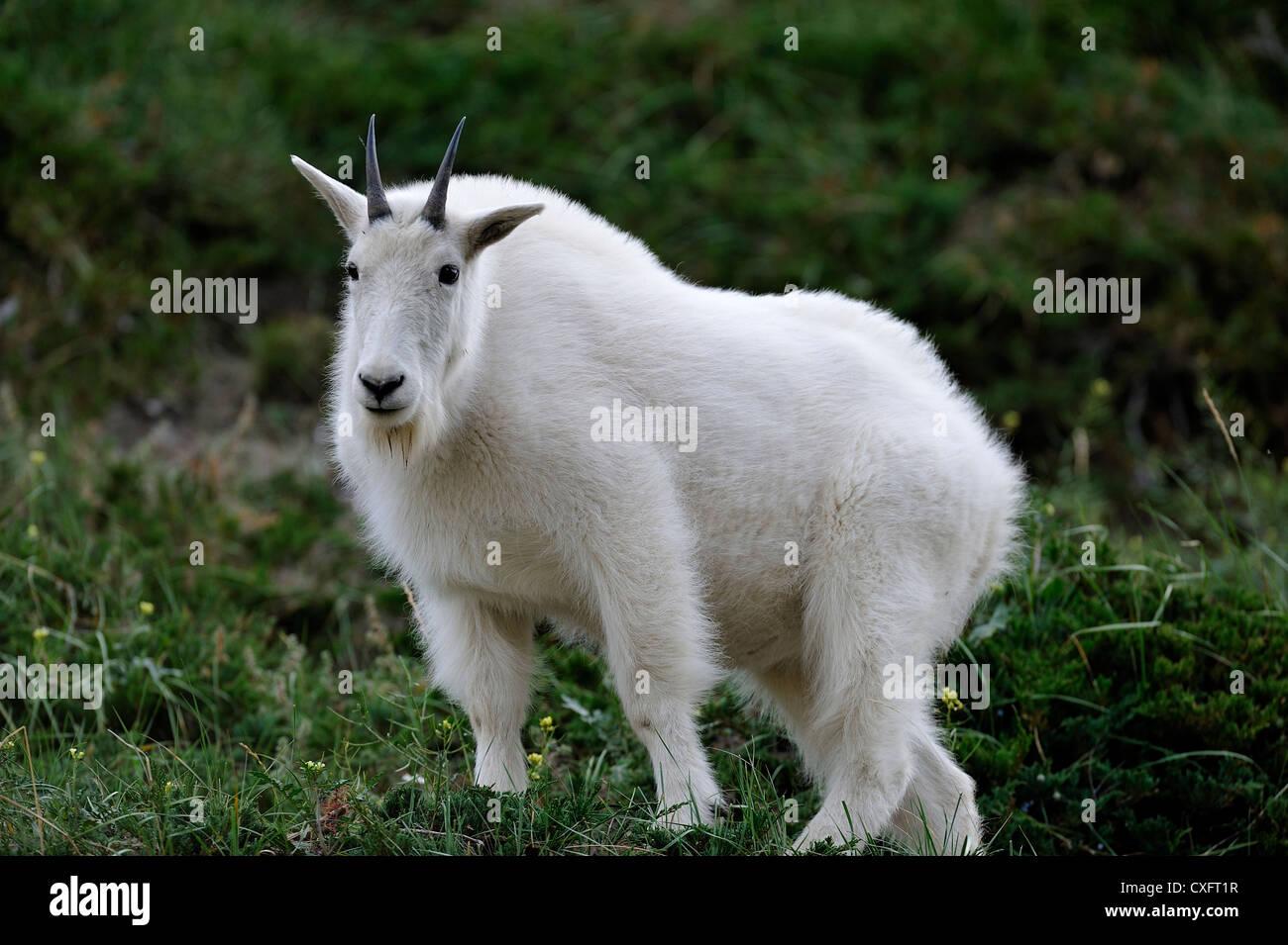 "Eine weiße Bergziege ""Oreamnos Americanus stehende Berg Vegetation Stockbild"