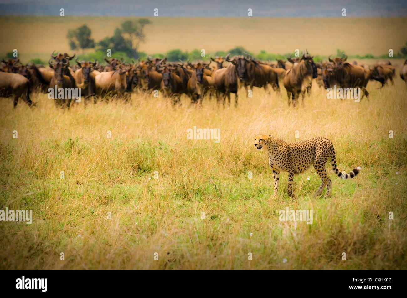 Geparden jagen Stockfoto