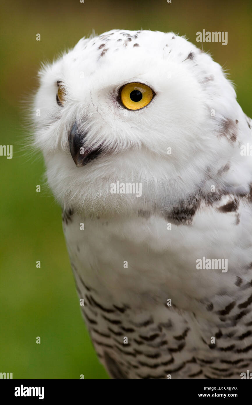 Schnee-Eule (Bubo Scandiacus) Porträt, UK Stockbild