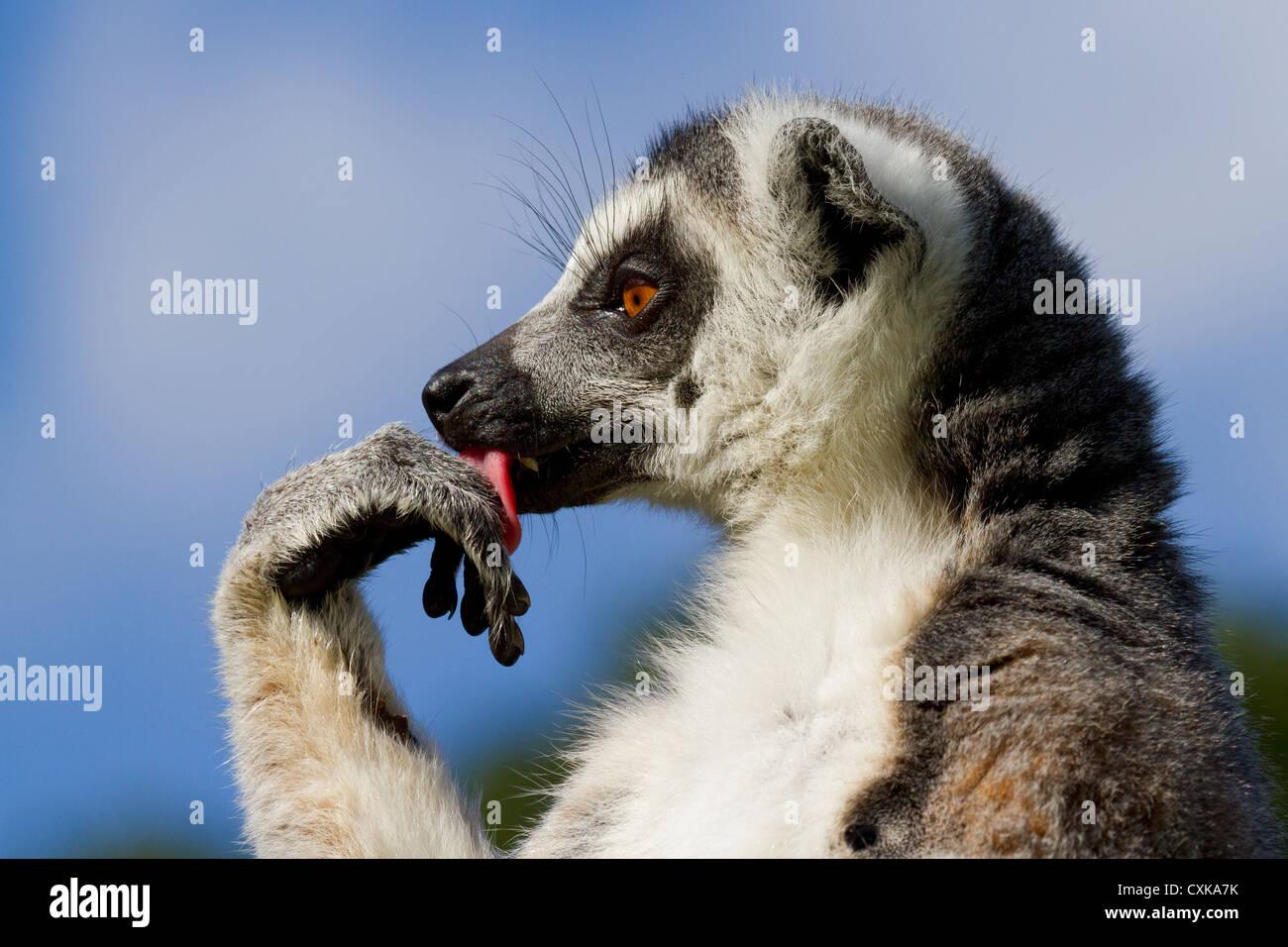 Nahaufnahme einer Katta (Lemur Catta) seine Pfote lecken. Sonnigen blauen Himmel und Laub Hintergrund Stockbild