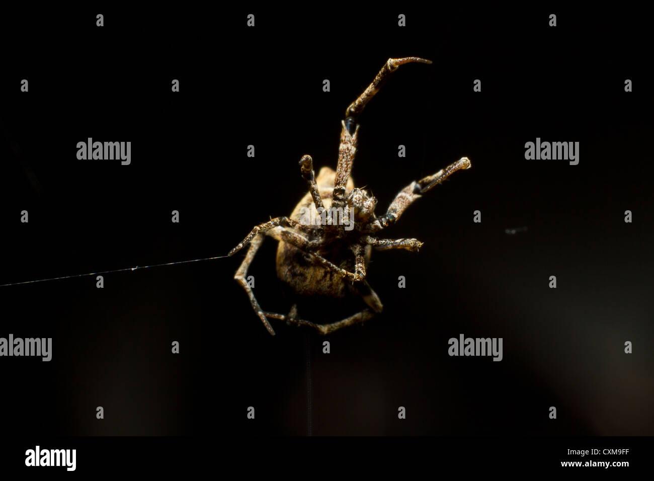 Nahaufnahme einer winzigen Garten Spinne Spinnen ihr Netz. Stockbild