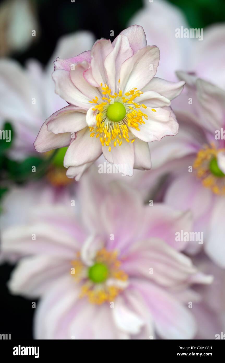 Anemone Hupehensis September Charme Pale Pink Japanische Anemone