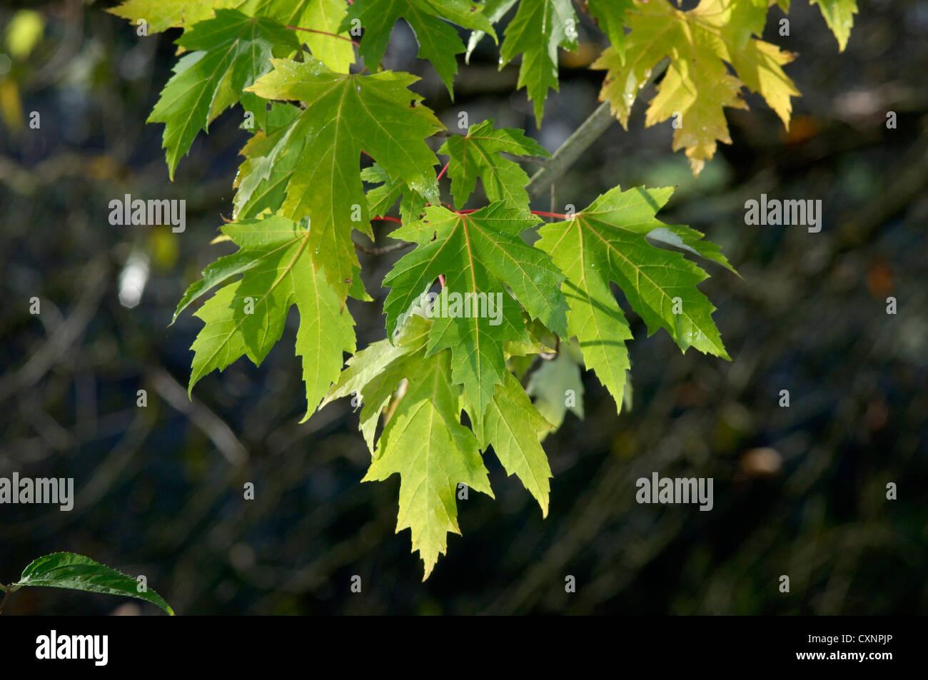 Silber Ahorn Acer Saccharinum (Aceraceae) Stockfoto