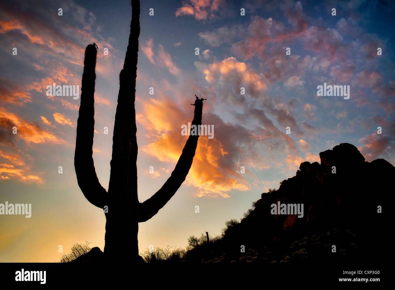 Saguaro-Kaktus und Sonnenuntergang-Wolken. Sonora-Wüste in Arizona Stockfoto