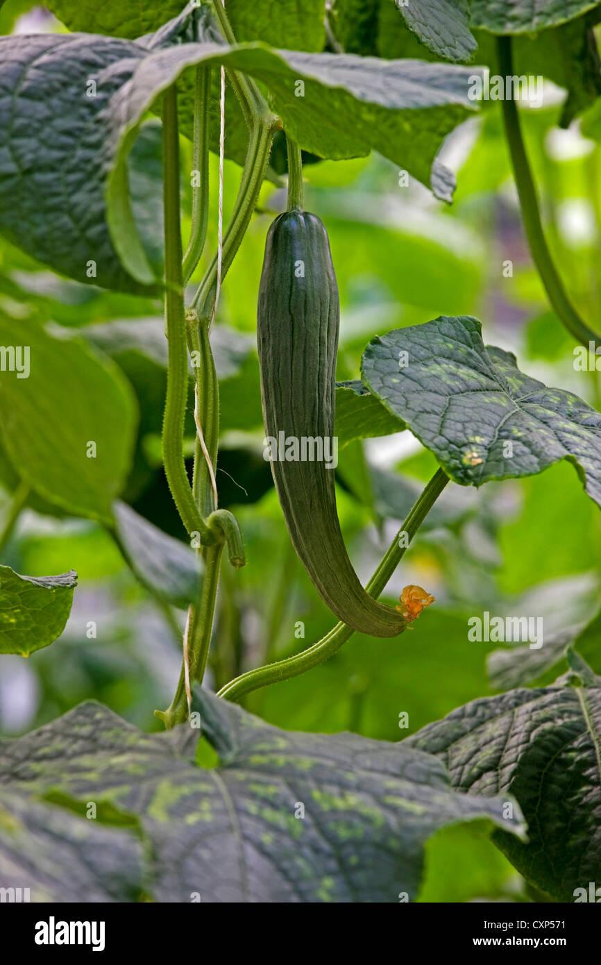 Gurke (Cucumis Sativus) auf Reben wachsen Stockbild