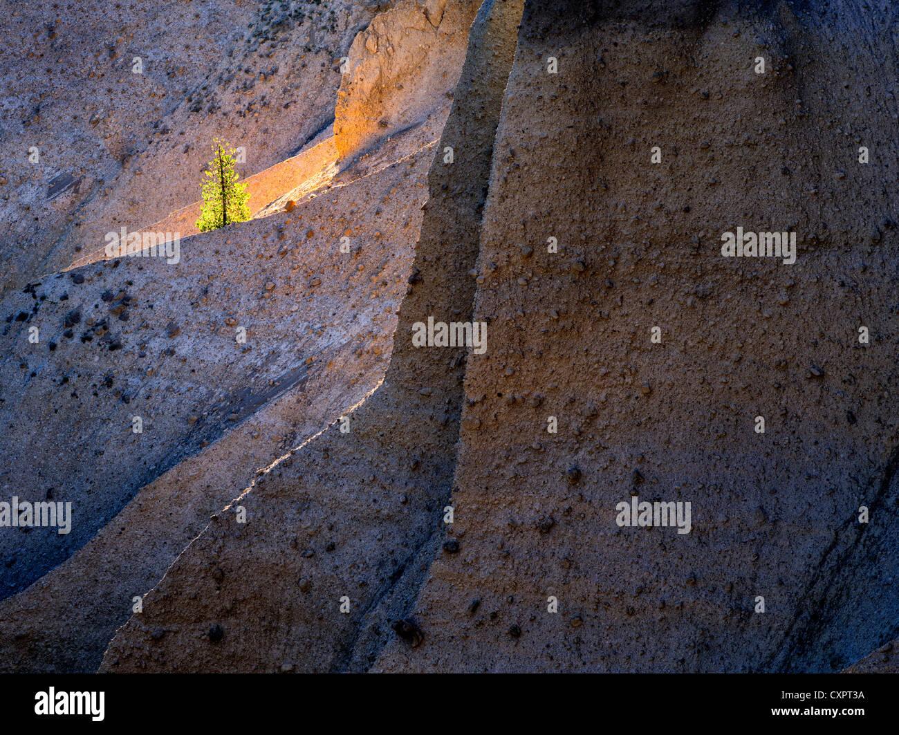 Einsamer Hintergrundbeleuchtung Baum. Crater Lake Nationalpark, Oregon. Vulkanische Ablagerung. Die Pinnacles, Oregon Stockbild