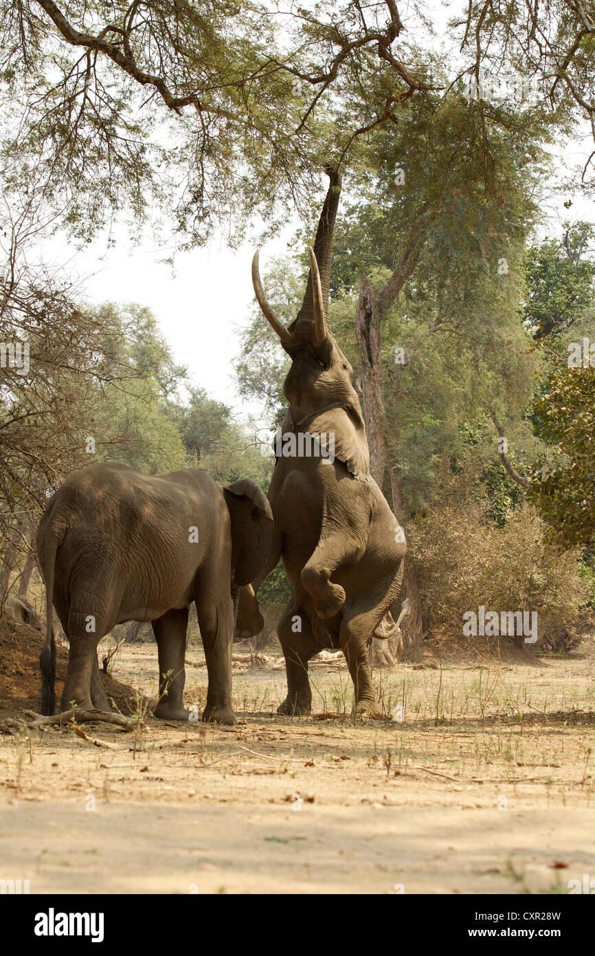 Afrikanische Elefanten, eine auf Hinterbeine bis Baum, Mana Pools, Simbabwe Stockbild