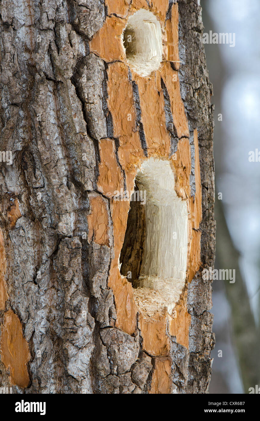 Marken einen Schwarzspecht (Dryocopus Martius), kauen Landschaftsschutzgebiet Tratzberg Naturschutzgebiet, Tirol, Stockbild