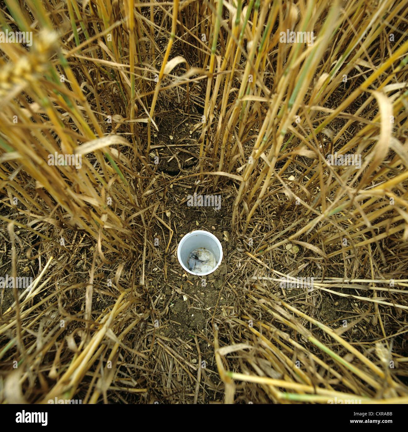 Pitfall Falle für die Überwachung der Boden aktiv Arthropoden Populationen in Reife Weizenernte platziert Stockbild