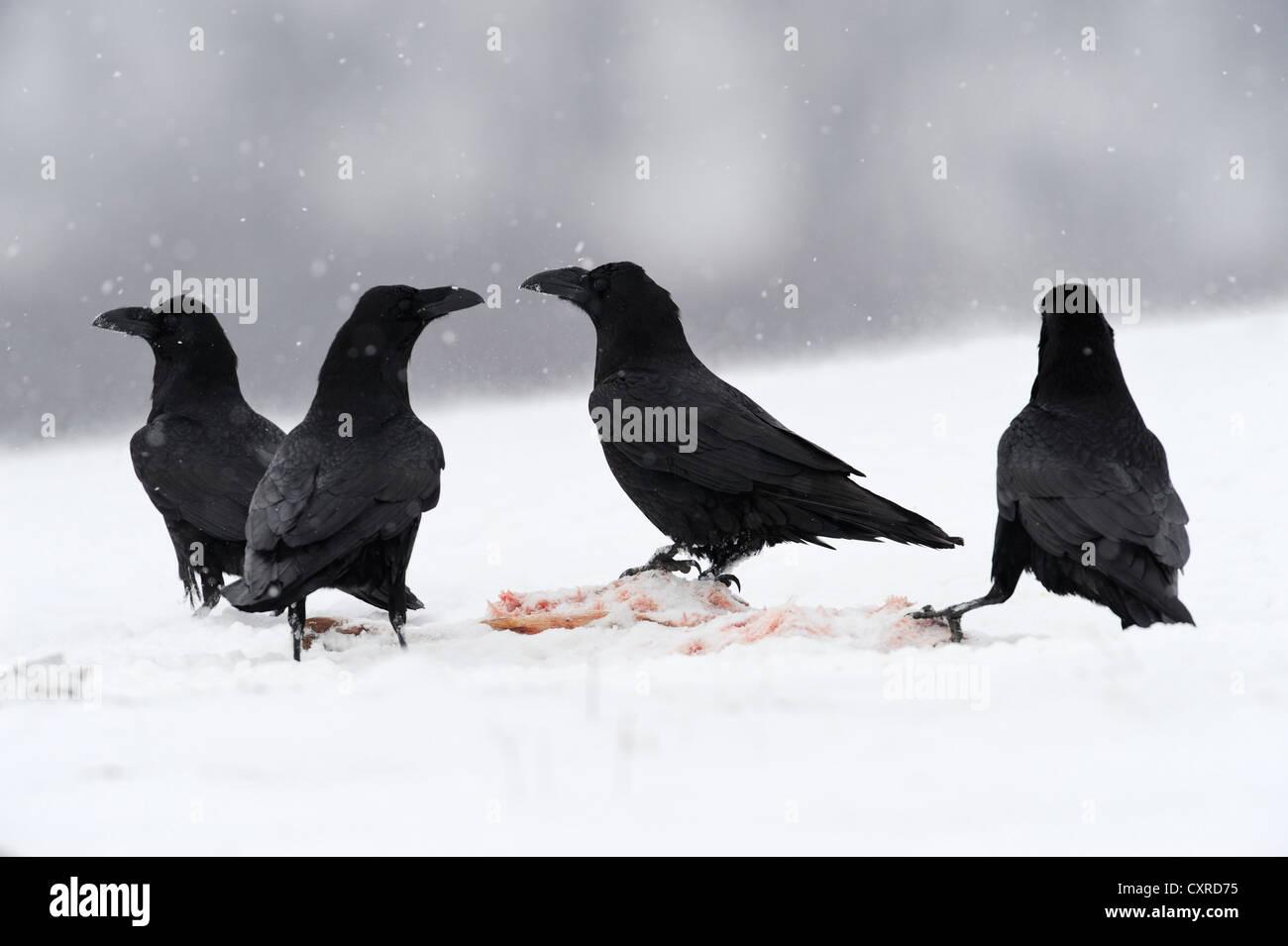 Kolkrabe (Corvus Corax), ein Köder Website, Naturpark Sinite Kamani, Bulgarien, Europa Stockbild