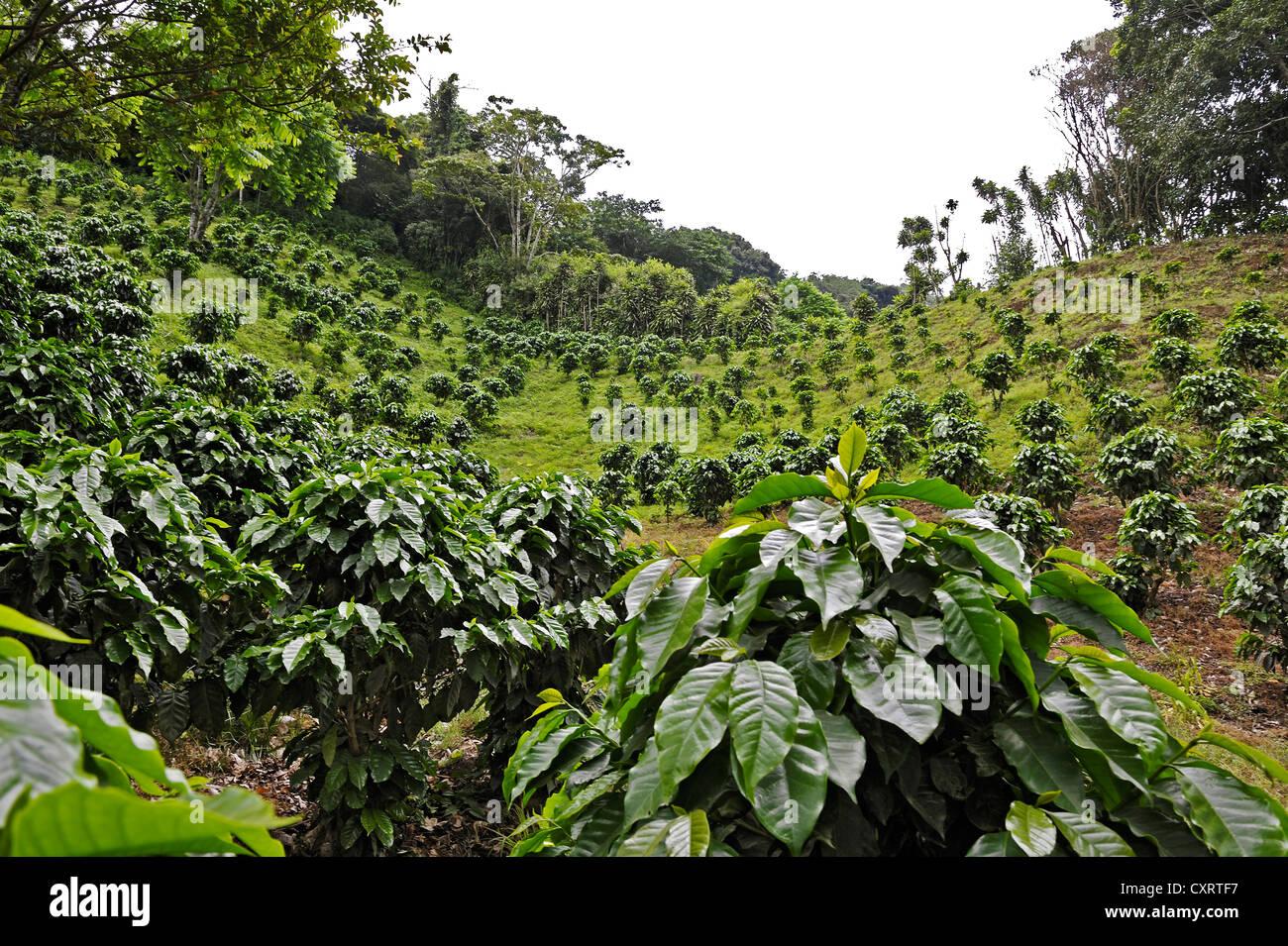 kaffee anbau kaffee pflanzen monteverde alajuela provinz costa rica mittelamerika stockfoto. Black Bedroom Furniture Sets. Home Design Ideas