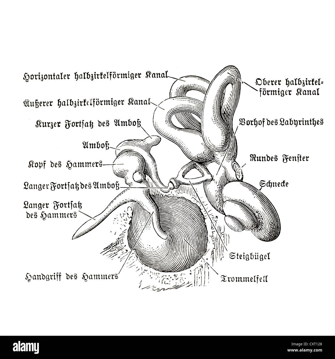 Menschliche Ohr, anatomische Abbildung Stockfoto, Bild: 50929488 - Alamy