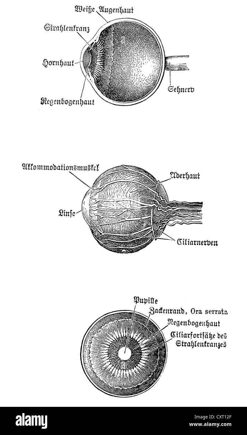 Augapfel, anatomische Abbildung Stockfoto, Bild: 50929495 - Alamy