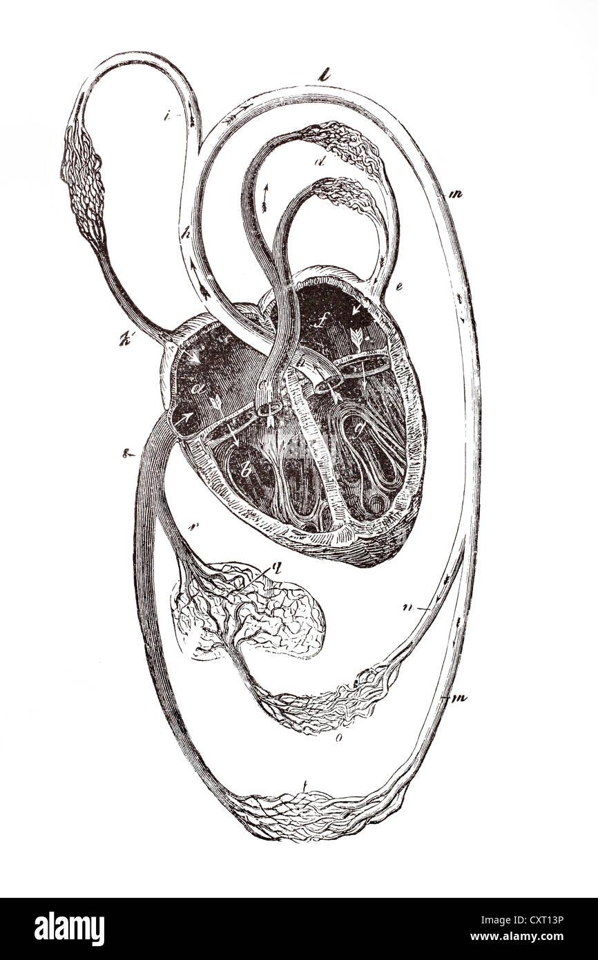 Herz-Kreislauf-System, anatomische Abbildung Stockfoto, Bild ...